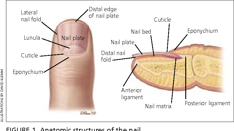 Lateral nail fold Distal edge of nail plate Anterior ligament Lunula ...