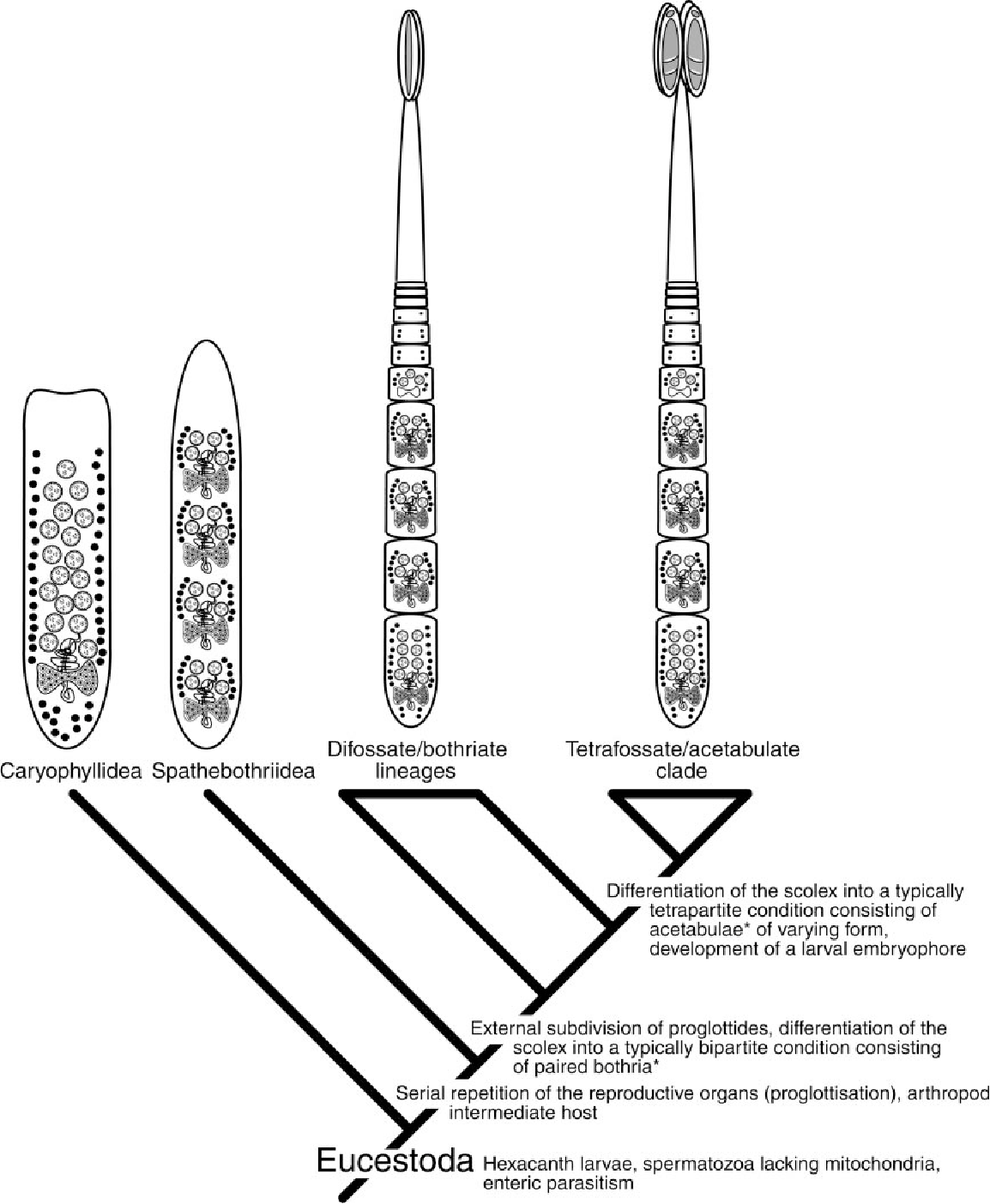 Interrelationships and evolution of the tapeworms platyhelminthes figure 6 pooptronica