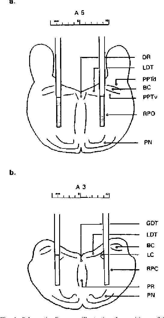 Figure 1 From Cholinergic Mechanisms In Canine Narcolepsy I