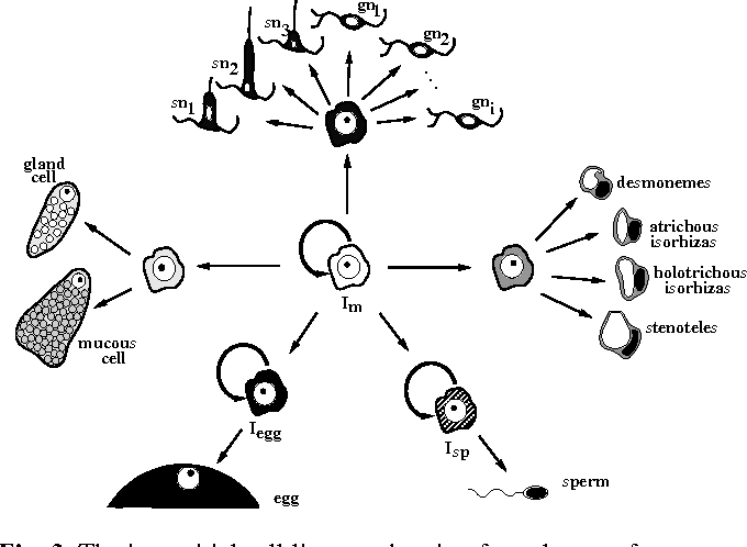 The interstitial cell lineage of hydra: a stem cell system that ...
