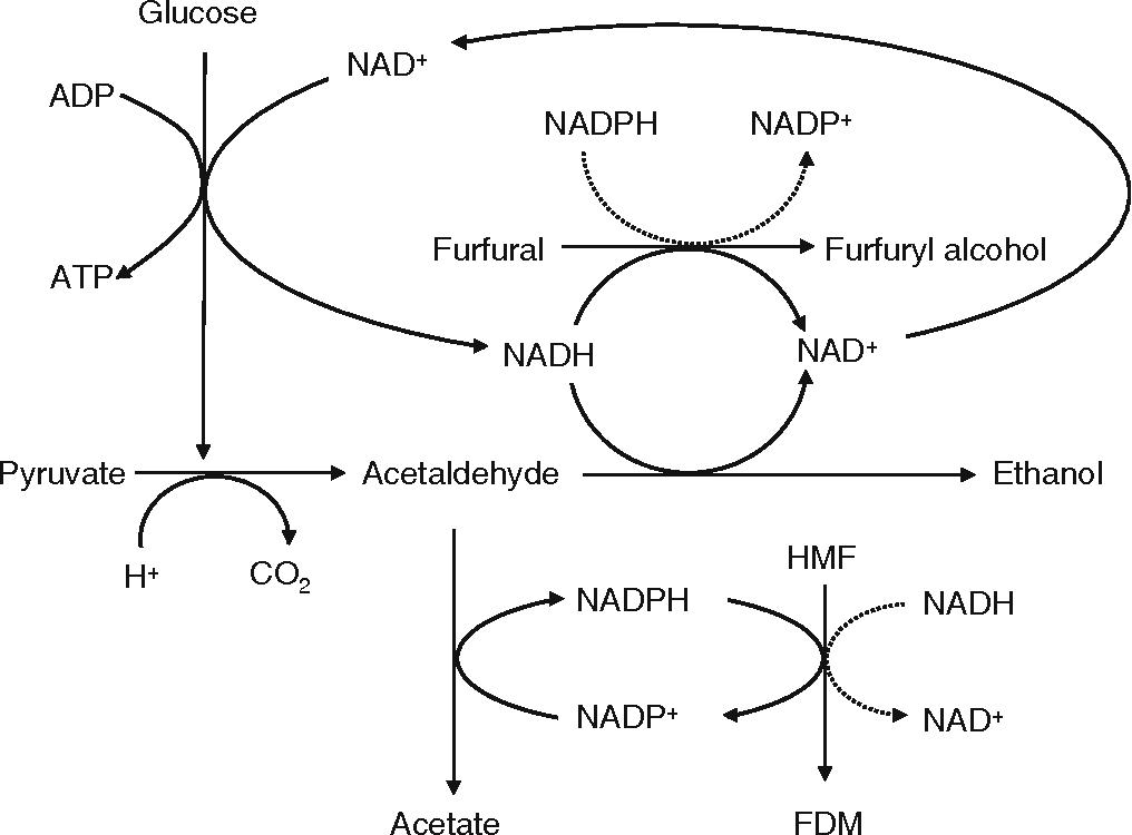 Genomic adaptation of ethanologenic yeast to biomass