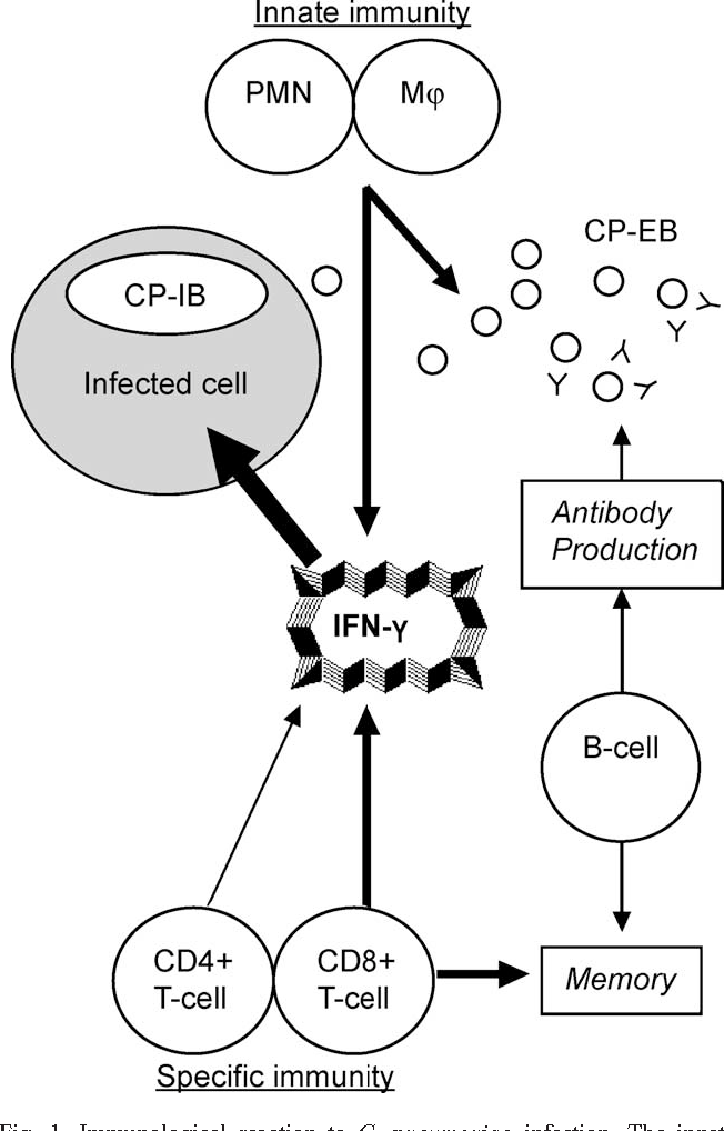 Chlamydia Pneumoniae Infections In Mouse Models Relevance For