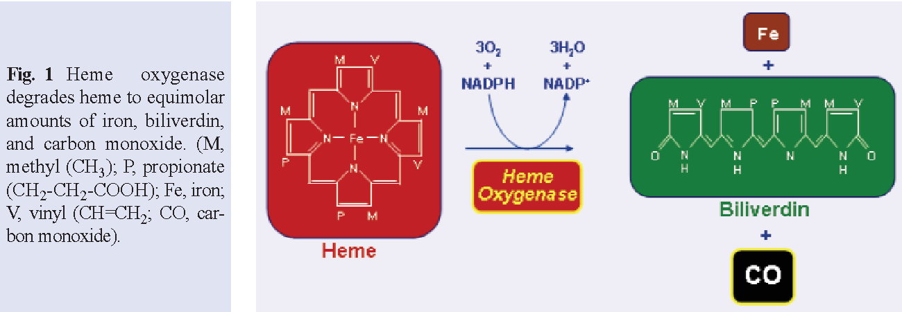 Figure 1 from role of carbon monoxide in cardiovascular function fig 1 heme oxygenase degrades heme to equimolar amounts of iron biliverdin and sciox Gallery