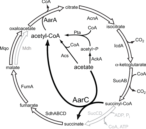 Table A 1 From A Specialized Citric Acid Cycle Requiring Succinyl