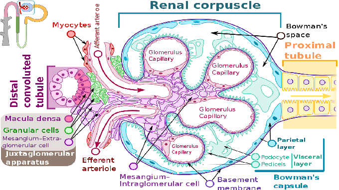 Figure 1 for To What Extent Does Downsampling, Compression, and Data Scarcity Impact Renal Image Analysis?