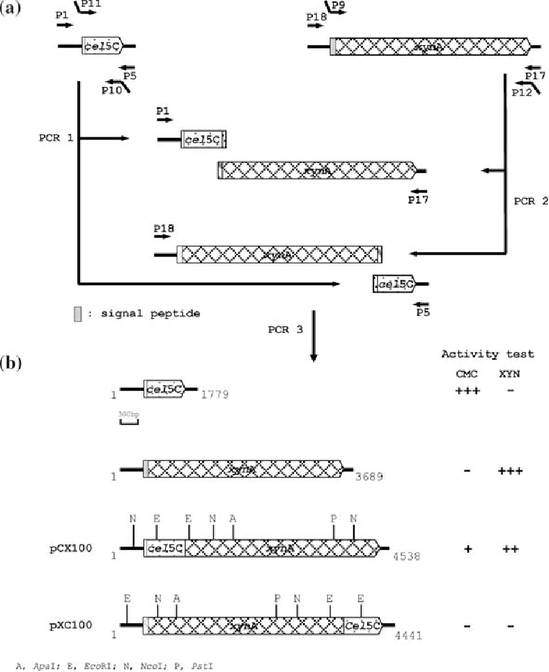 Fig. 1 Schematic illustration of Cel5C–XynA and XynA–Cel5C fusion enzymes. The cel5C–xynA and xynA–cel5C genes are fused by overlap PCR. The cleavage sites of the restriction enzymes, ApaI, EcoRI, NcoI, and PstI are shown