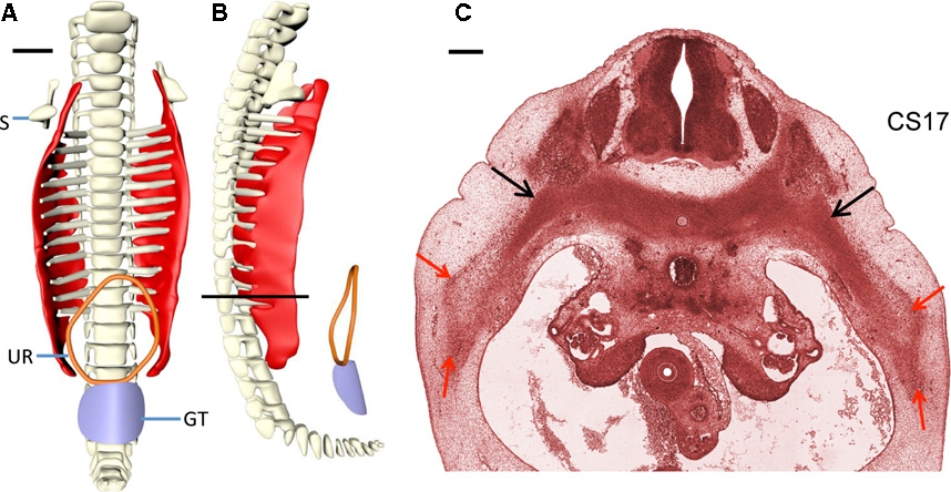 Development Of The Ventral Body Wall In The Human Embryo Semantic