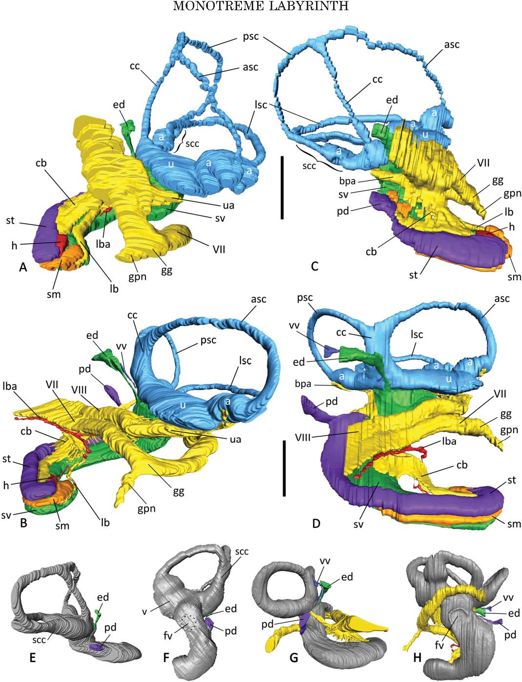 Inner ear labyrinth anatomy of monotremes and implications for ...