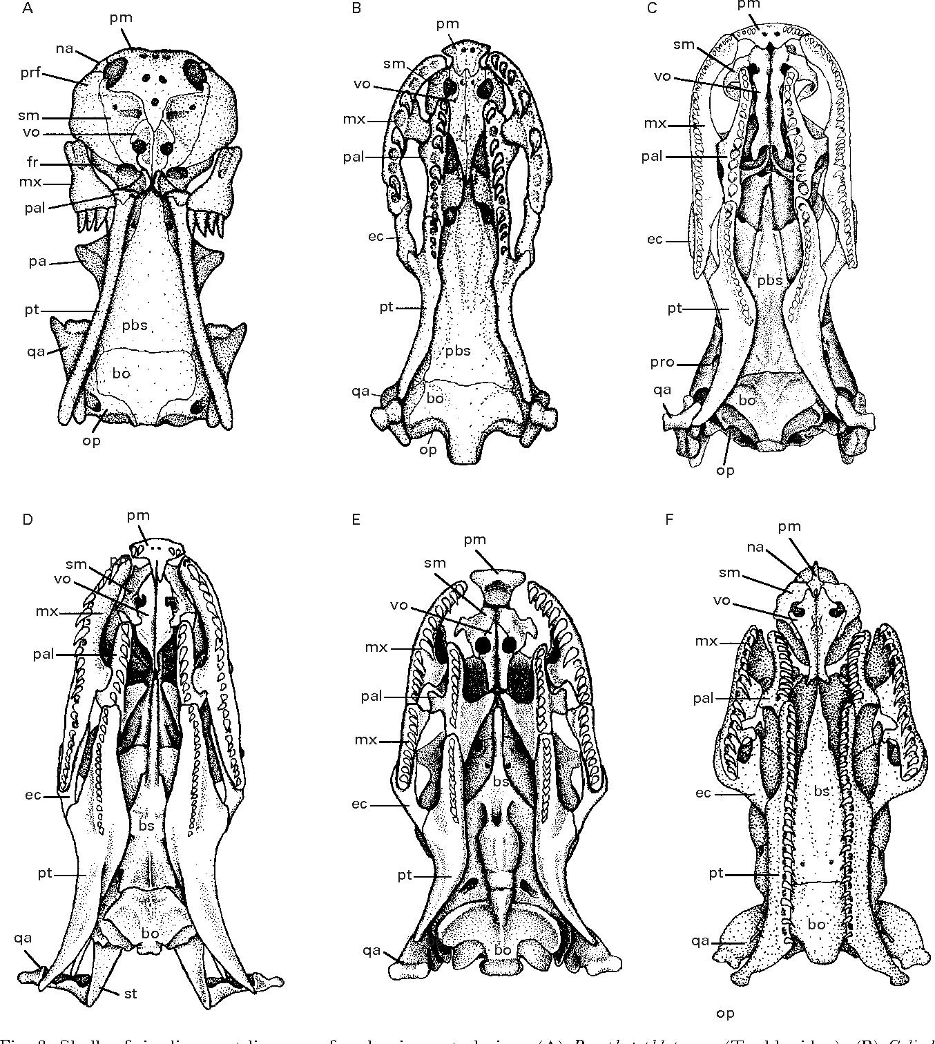 Snake phylogeny based on osteology, soft anatomy and ecology ...