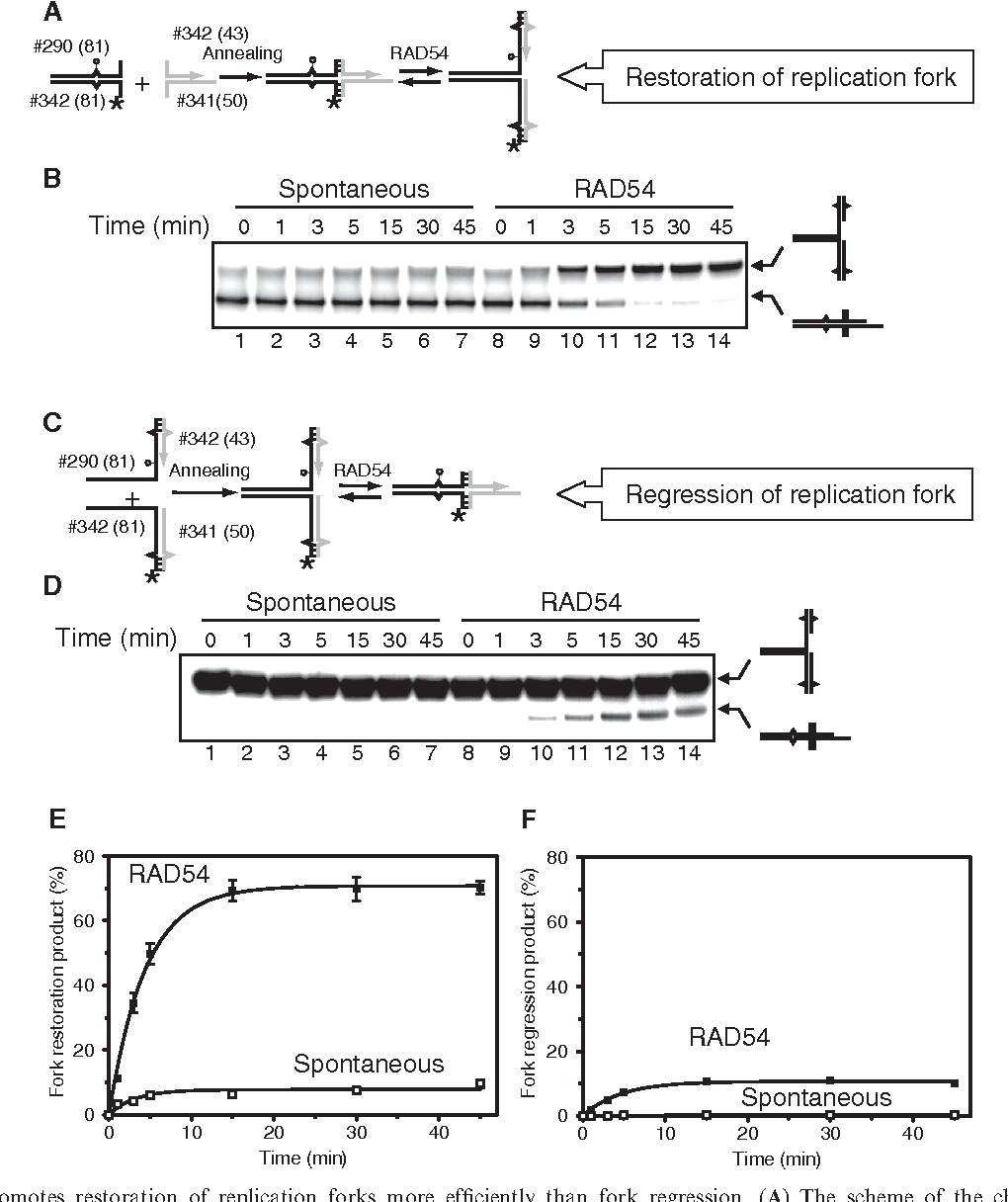 Cooperation Of Rad51 And Rad54 In Regression A Model Replication Heyer Engineering Schematics Figure 4