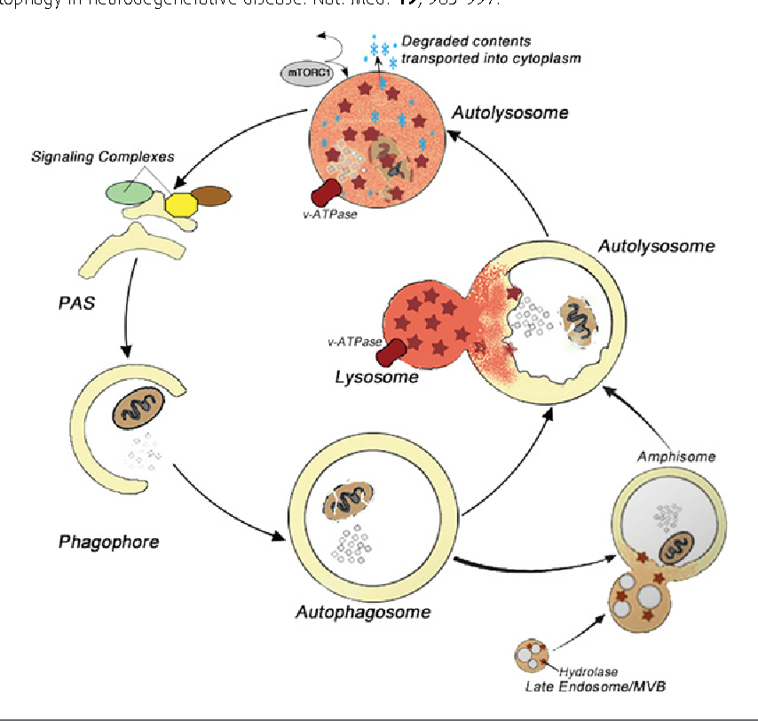 Figure 1 From Lysosome And Calcium Dysregulation In