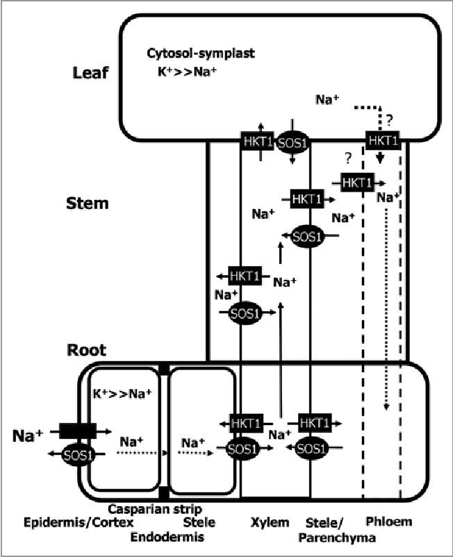 schematic diagram showing na+ + out the root and the partitioning of na+