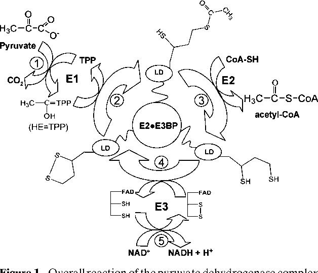 Pyruvate Dehydrogenase Acetyl Transferring Kinase Activity