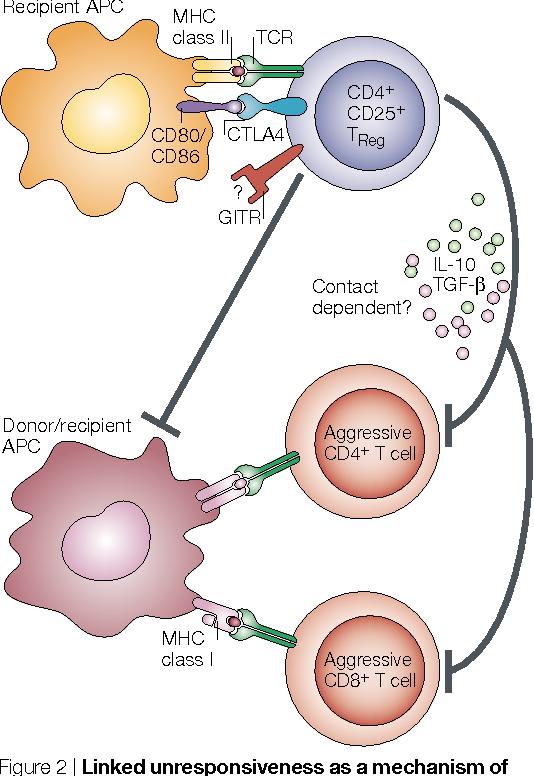 regulatory lymphocytes regulatory t cells in transplantation