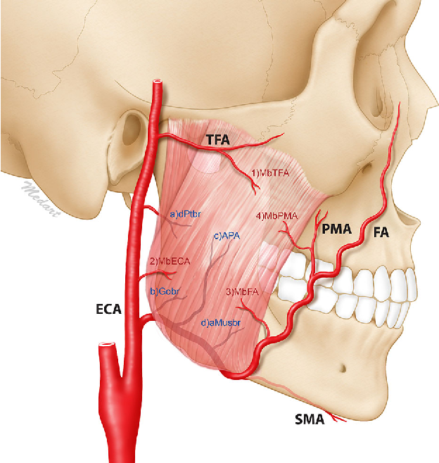 Neurovascular Structures Of The Mandibular Angle And Condyle A