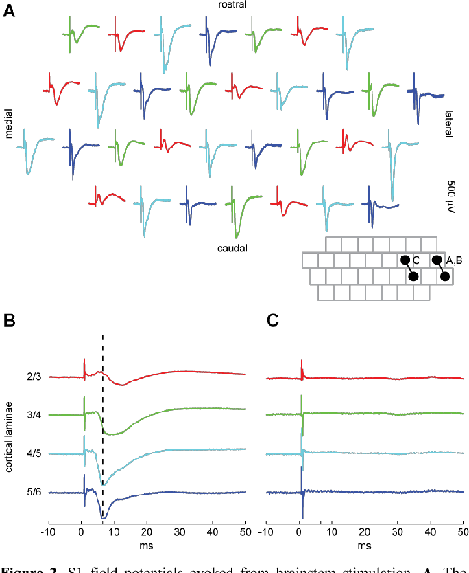 Figure 2. S1 field potentials evoked from brainstem stimulation. A, The field potential at each S1 electrode evoked from a single, 50-µA pulse delivered to the pair of electrodes on the brainstem array labeled 'A,B' in the inset. The four different colors label the four different electrode lengths present on the array. B, The evoked potentials shown in A averaged for each electrode length. The approximate laminar location of each length electrode is indicated. C, The field potentials evoked from a 50-uA pulse delivered to the pair labeled 'C' in the inset.