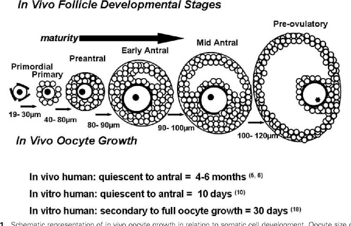 figure 1 from in vitro development of ovarian follicles
