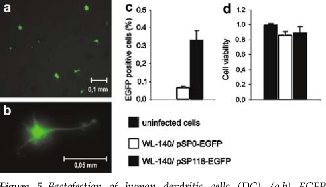 Figure 5 Bactofection of human dendritic cells (DC). (a,b) EGFP expression after bactofection of human DC with L. monocytogenes DtrpS carrying plasmids pSP0-EGFP or pSP118-EGFP, 24 h p.i. (c) EGFPexpressing DC, 24 h p.i. (calculated as percentage of all CD83-positive cells measured by flow cytometry). (d) Rate of viable cells after infection in comparison with uninfected cells (set to 1), measured with MTT.