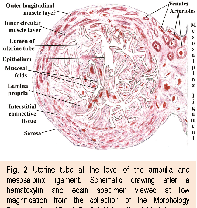 Fallopian Tubes Literature Review Of Anatomy And Etiology In