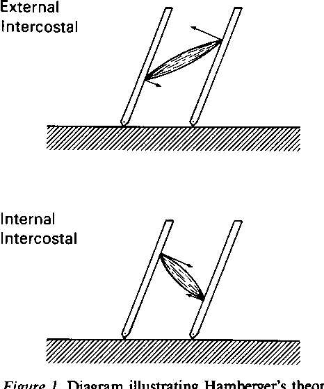 Mechanics Of Intercostal Space And Actions Of External And Internal