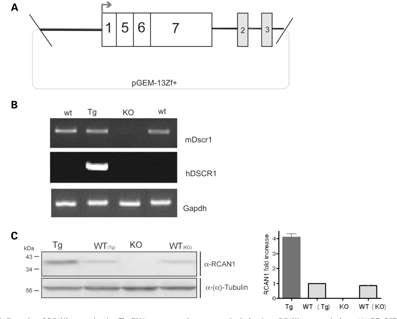 PDF] DSCR 1 / RCAN 1 regulates vesicle exocytosis and fusion