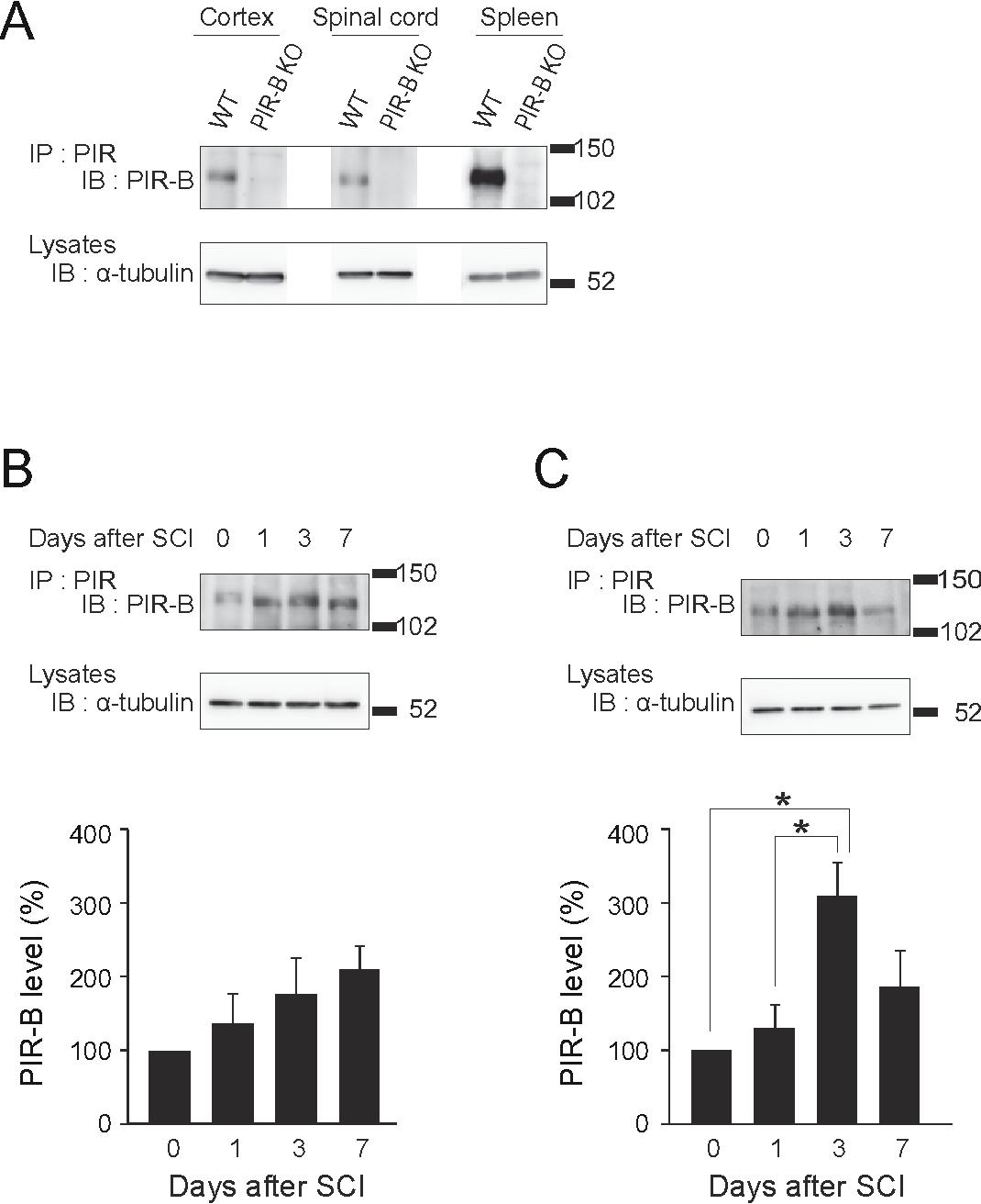 PDF] Paired immunoglobulin-like receptor B knockout does not enhance