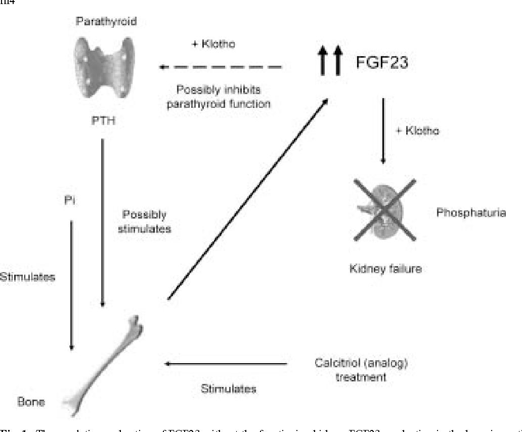 Pathophysiology Of Parathyroid Hyperplasia In Chronic Kidney Disease