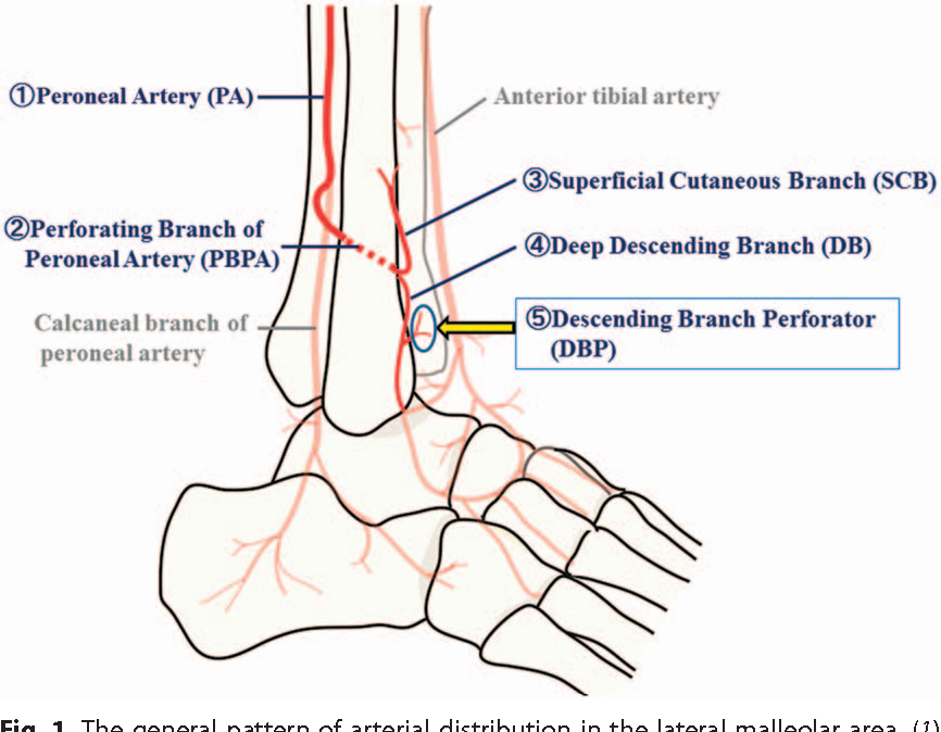 Descending branch of the perforating branch of the peroneal artery ...