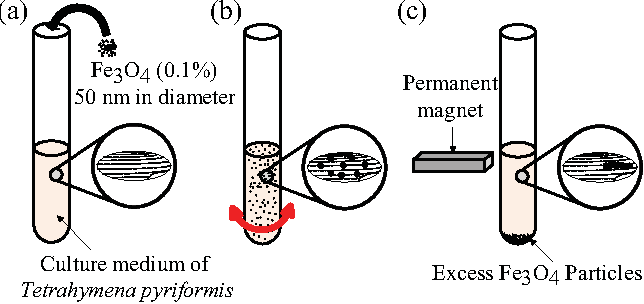 Fig. 1. The procedure for fabrication of artificially magnetotactic T. pyriformis from (a) to (c). (a) Addition of iron oxide particles (magnetite, Fe3O4) particles into the culture medium. (b) Gentle agitation to ensure the cells internalize the iron oxide particles. (c) Magnetization of the internalized magnetite using a permanent magnet.