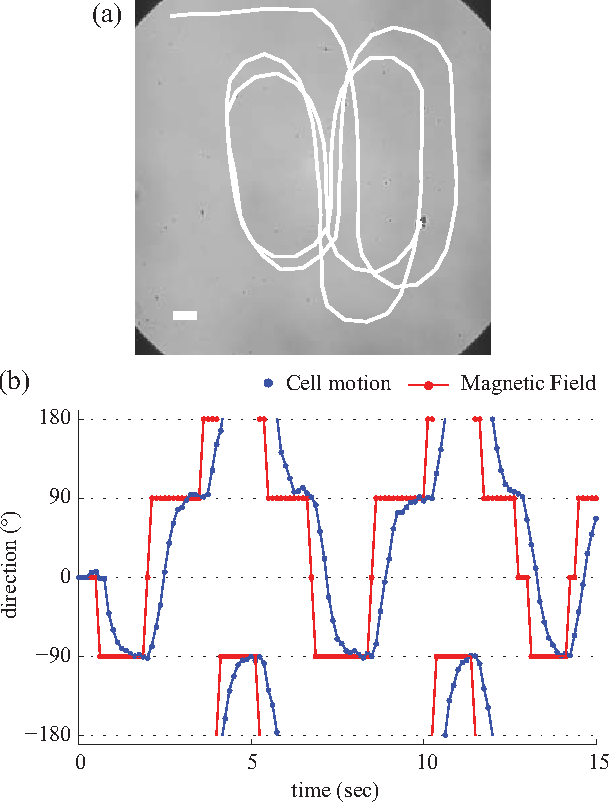 Fig. 5. Manual control of artificially magnetotactic T. pyriformis. (a) The traveled trajectory for the first 15 seconds. (b) The direction of the cell motion and magnetic field. The scale bar is 100 µm.