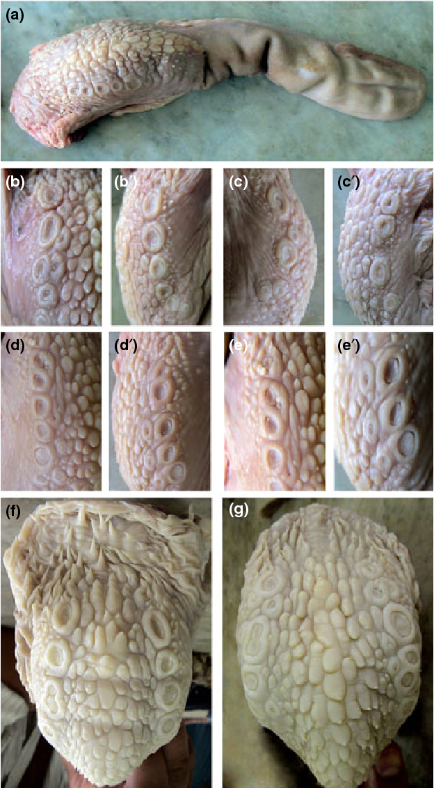 Morphological Characteristics Of The Vallate Papillae Of The One