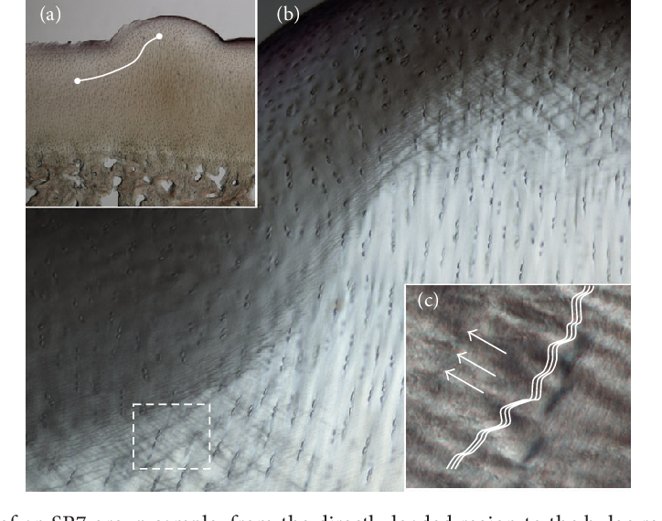 Figure 6: A more detailed view of an SR7 group sample, from the directly loaded region to the bulge region. (a) The white line indicates the span of the region shown at higher magnification in (b). Shear bands are visible as patterns of oblique-crisscross lines. The boxed region (dashed line) in (b) is greatly enlarged in (c) to show the structure of the shear bands. The wave feature represents an in-phase fibrillar compression (crimp) with the arrows indicating the overall direction of this crimp, forming part of the crisscross pattern visible at the larger scale view. DIC imaging.