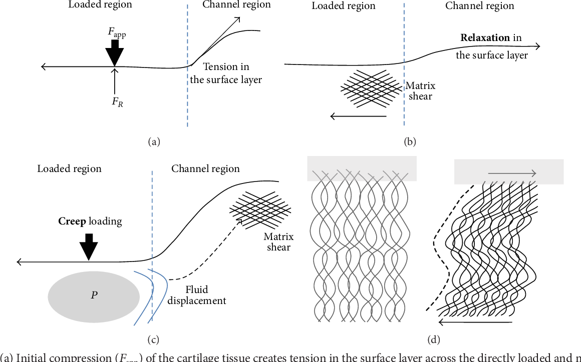 Figure 12: (a) Initial compression (𝐹app) of the cartilage tissue creates tension in the surface layer across the directly loaded and non-directly loaded (channel) regions.Thematrix reaction is depicted by 𝐹 𝑅 . (b)With small 1MPa loads, a smaller compressive strain results, and holding the position following attainment of 1MPa allows stress relaxation in the surface layer that creates a matrix shear, manifested by the shear bands shown as crisscross pattern. (c) With creep loading of the cartilage tissue, even with small loads, a relatively large compressive strain results from tissue consolidation at this fixed load. Fluid-pressure build-up (𝑃) and fluid displacement into the channel region cause matrix shear (shear bands) to form in the bulge region. (d)Matrix shear or shear bands and how they are formed are illustrated. Shear causes in-phase crimping (indicated with the dotted line) of the interconnected fibrillar matrix that is resolvable at the microscale (refer also to Figures 6(c) and 10).