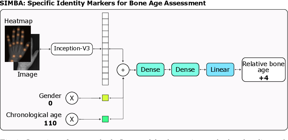 Figure 3 for SIMBA: Specific Identity Markers for Bone Age Assessment