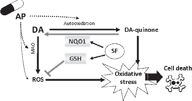 Figure 5 from Sulforaphane protects SK-N-SH cells against