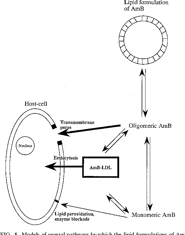 Figure 8 From Carrier Effects On Biological Activity Of Amphotericin
