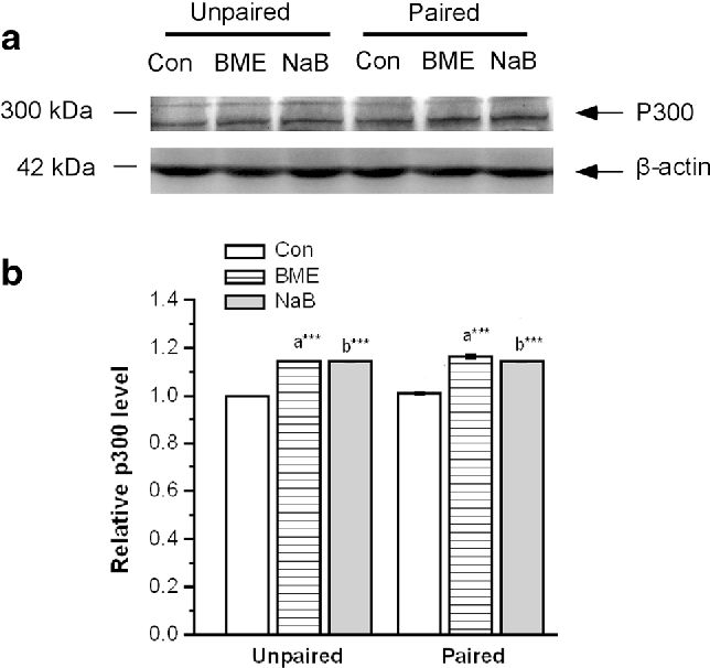 Fig. 3 Effects of contextual fear conditioning on activation of p300 in the  hippocampus of