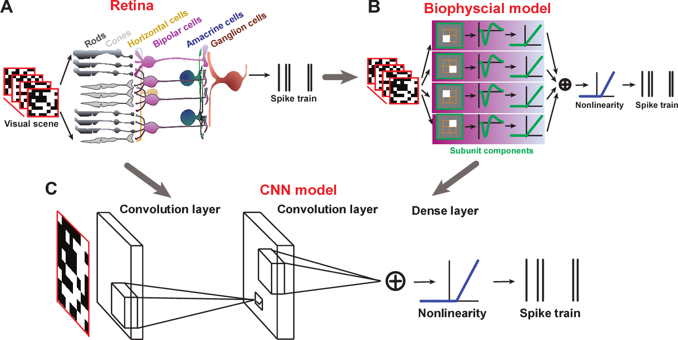 Figure 1 for Revealing Fine Structures of the Retinal Receptive Field by Deep Learning Networks