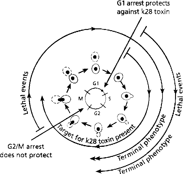 Cell Cycle Studies On The Mode Of Action Of Yeast K28 Killer Toxin