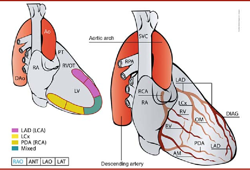 Clinical Anatomy of the Coronary Circulation - Semantic Scholar