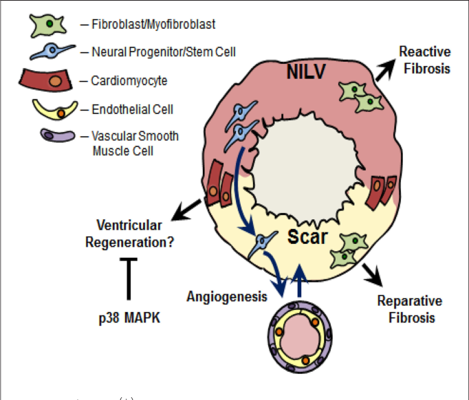90902110a601 FIGURE 2 | Nestin(+)-cells and cardiac remodeling following myocardial  infarction.