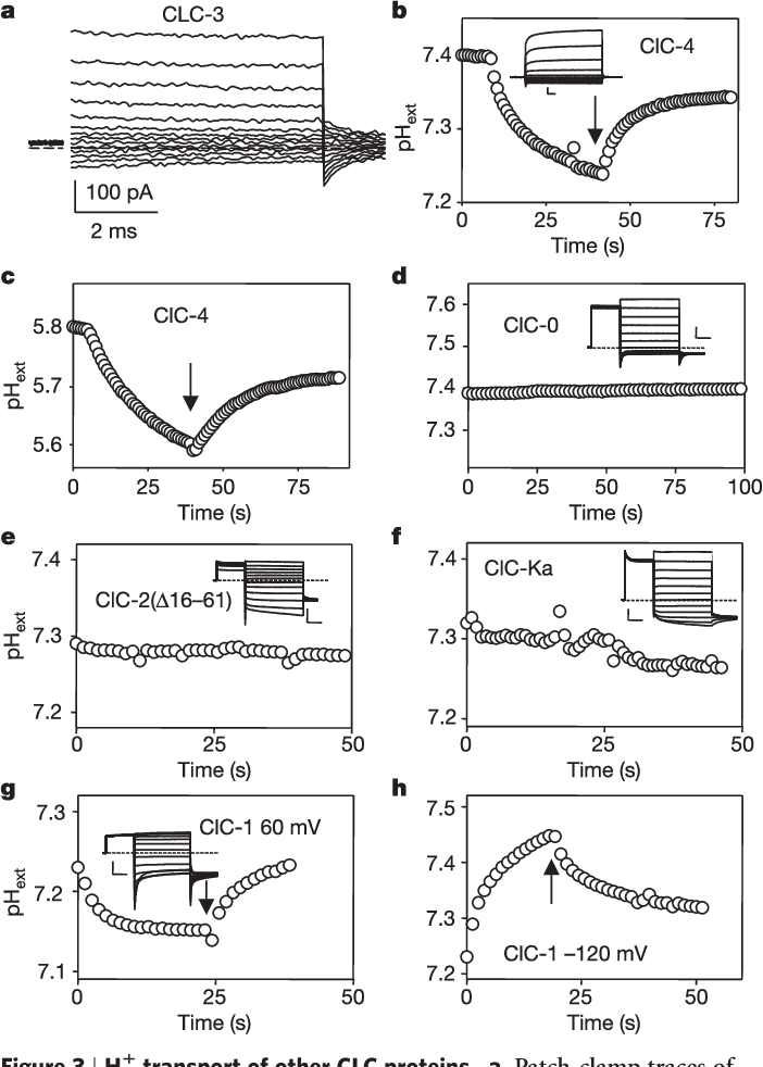 Figure 3   H1 transport of other CLC proteins. a, Patch-clamp traces of ClC-3 produced by steps from 160mV to2140mV. Initial capacity transient is blanked. b–h, Extracellular pH close to oocytes expressing the indicated channel types bathed in standard solution with 0.5mM HEPES (except panel c, the solution for which contained 0.5mM MES, pH5.8) after activation by 0.4-s pulses to 60mV (except for h, for which Vp ¼ 2120mV) (n $ 5 for each channel type). No leak pulses were applied for ClC-0, ClC2(D16–61), ClC-Ka and ClC-1. Insets show families of voltage-clamp traces evoked in the respective oocytes by pulses from2140 to 80mV (scale bars: 0.5 mA, 5ms (b); 2 mA, 50ms (d); 1 mA, 50ms (e); 2mA, 50ms (f); 2 mA, 50ms (g)).