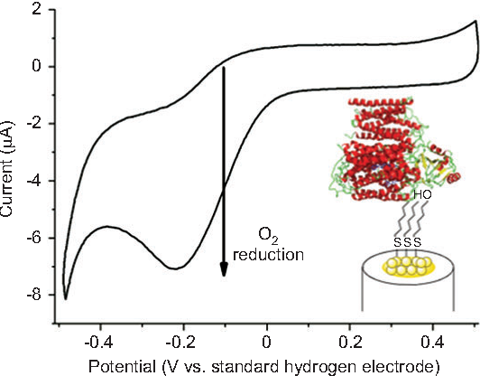 Figure 3 Cyclic voltammetry of cytochrome bo 3 immobilized on 15nm gold nanoparticles in the presence of O 2 .