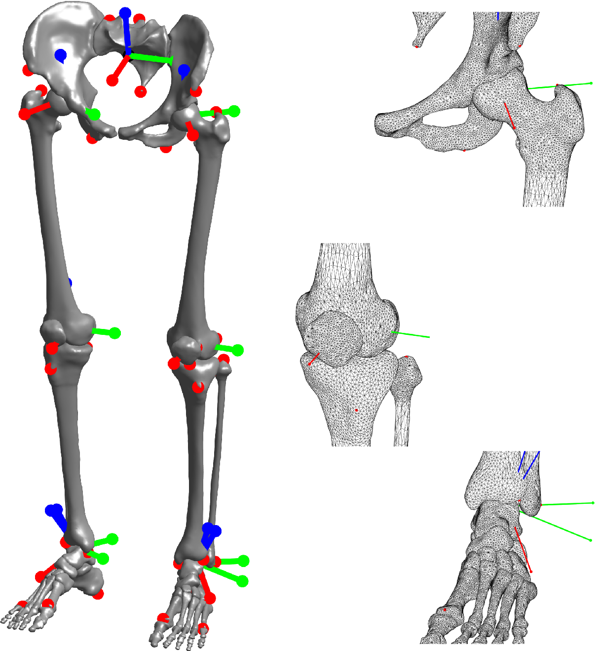 High Resolution Computer Meshes Of The Lower Body Bones Of An Adult
