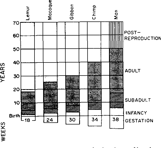 Fig. I. Progressive prolongation of life phases and gestation in primates. Note the proportionality of the four indicated phases. The post-reproductive phase is restricted to man. Source: Lovejoy (198 I): Copyright 1981 by the American Association for the Advancement of Science.