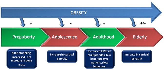 Fig. 2. Cross-sectional data indicate that a positive relationship between fat and bone observed in early childhood is attenuated and subsequently reverses during adolescence. Studies in adults generally suggest a positive relationship between fat and bone. In older adults fat is protective against vertebral and hip fractures, but may increase the risk of ankle and humerus fractures. During adolescence and in the elderly, increased cortical porosity is observed. Red denotes increased incidence of fracture.