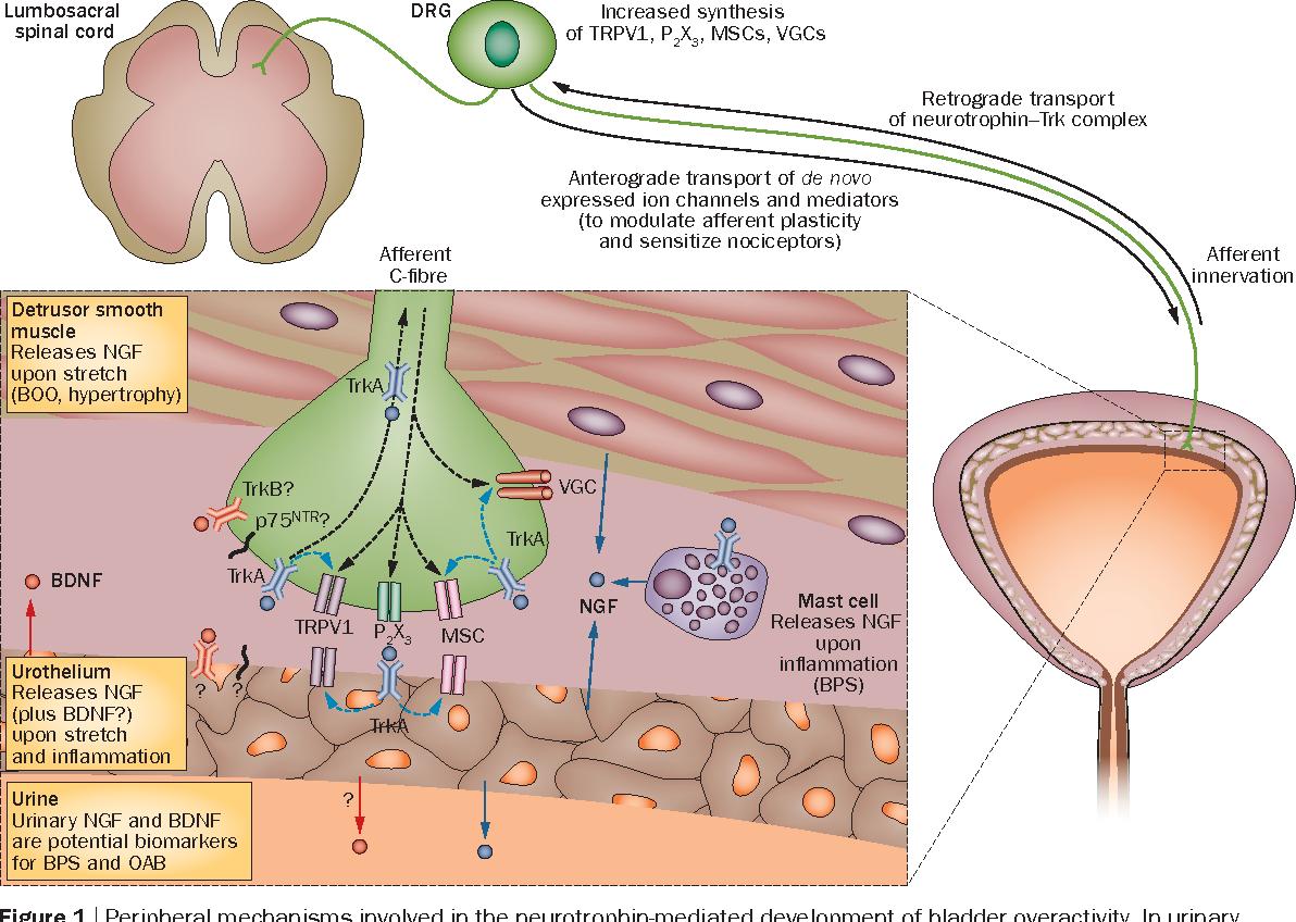Neurotrophins as regulators of urinary bladder function - Semantic ...