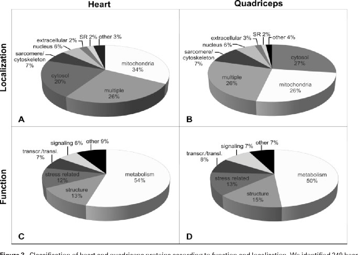 "Figure 3. Classification of heart and quadriceps proteins according to function and localization. We identified 249 heart and 214 quadriceps proteins. Cardiac proteins were largely derived from mitochondria, followed by multiple subcellular localization and cytosol (A). For quadriceps, these locations were represented equally (B). The category ""other"" includes Golgi apparatus, endocytic vesicles, plasma membrane, and peroxisomes, as well as unknown proteins. Most proteins identified in heart and skeletal muscle are metabolic enzymes (C, D). Function and localization data were derived from the NCBI M. musculus database (http://www.ncbi.nlm.nih.gov)."