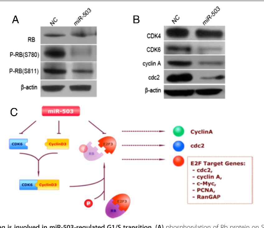 Figure 6 Rb-E2F signaling is involved in miR-503-regulated G1/S transition. (A) phosphorylation of Rb protein on Ser780 and Ser811 is inhibited by miR-503. 48 h after transfection with the indicated RNA duplex, cells were subjected to Western blot analysis. Rb, total Rb protein; pRb, phosphorylated Rb. (B) effect of miR-503 on the expression of endogenous genes. miR-503 inhibited significantly the expression of CDK6 and the downstream genes of E2F3. Gene expression was examined by Western blot. β-actin, internal control. (C) signaling pathways that regulate the cell cycle control in HCC involving miR-503.