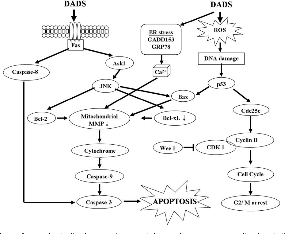 Diallyl Disulfide Induces Apoptosis In Human Colon Cancer Cell Line